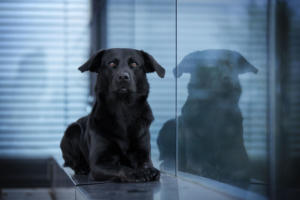 Labrador Retriever Ruede - 24